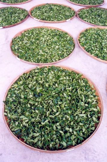 świeże liście herbaciane - Muzha, Taiwan