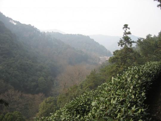 Plantacja zielonej herbaty w prowincji Longjing, Chiny