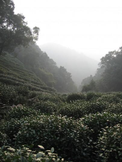 pole herbaciane w Longjing - fot. Anna Włodarczyk