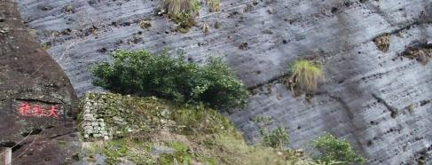 macierzyste krzewy Da Hong Pao