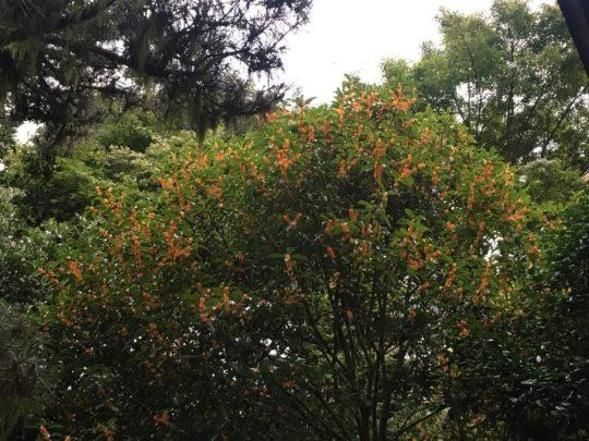 Krzew wończy - Osmanthus fragrans, fot. AW